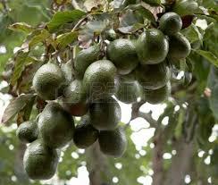 avocadoboom